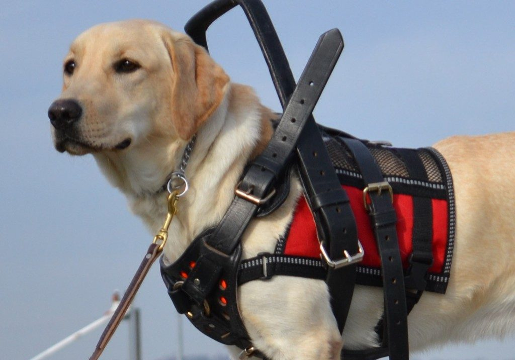 Therapy and Service dogs
